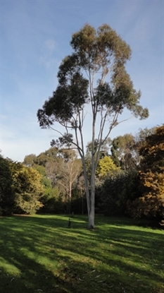 Picture of Corymbia citriodora