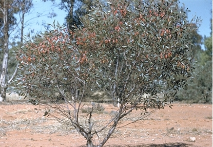 Picture of Eucalyptus forrestiana