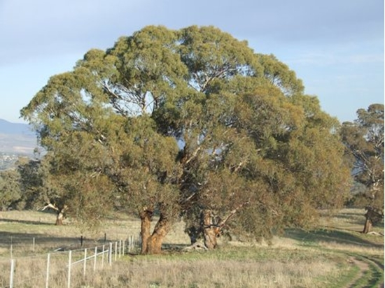Picture of Eucalyptus melliodora