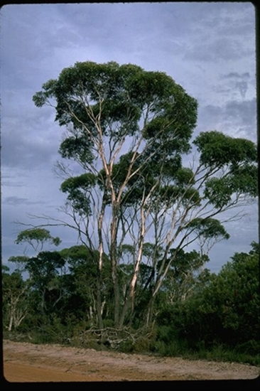 Picture of Eucalyptus occidentalis