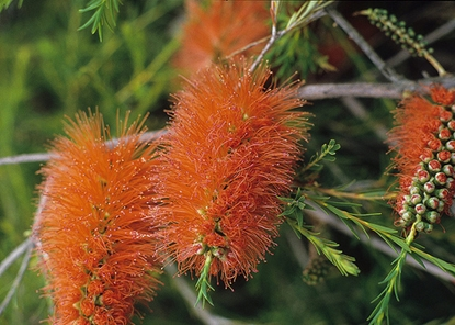 Picture of Melaleuca lateritia