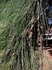 Picture of Casuarina cunninghamiana
