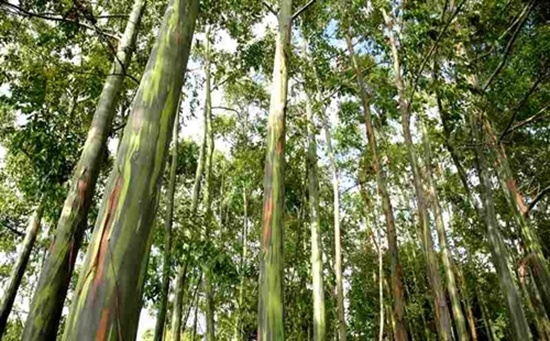 Picture of Eucalyptus grandis