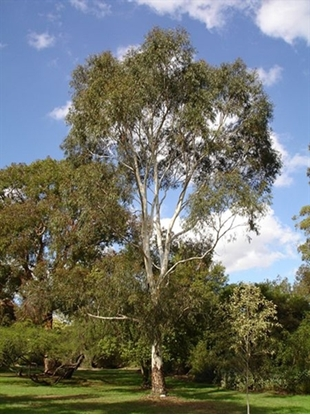 Picture of Eucalyptus scoparia