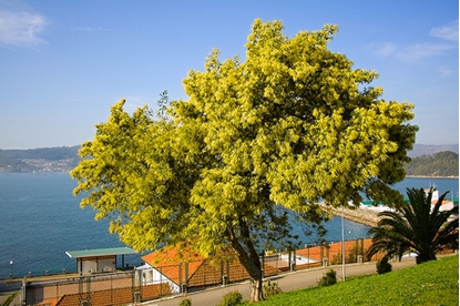 Picture of Acacia dealbata
