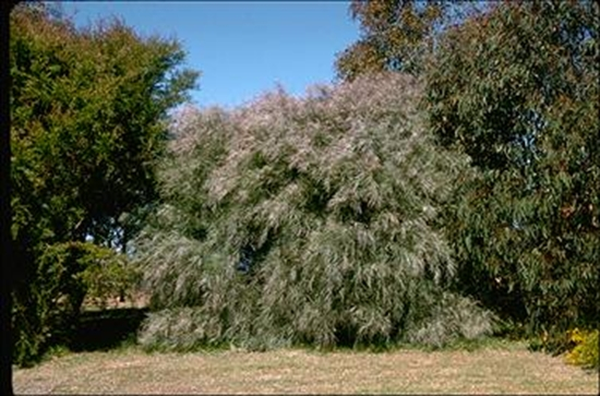 Picture of Acacia iteaphylla
