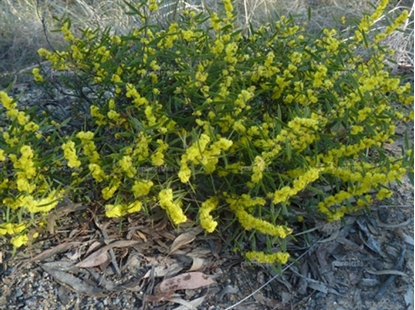 Picture of Acacia lanigera