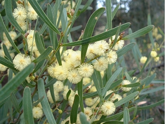Picture of Acacia stricta