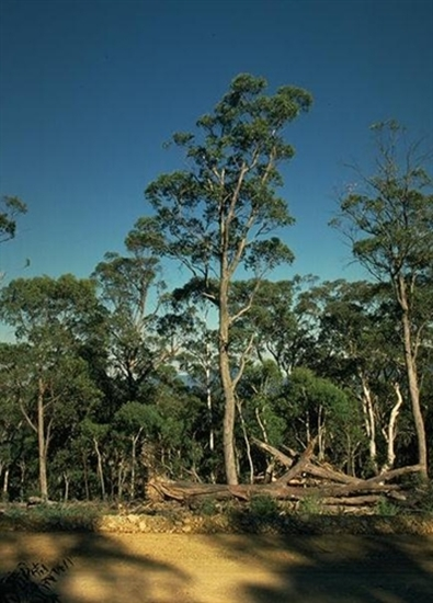 Picture of Eucalyptus dives
