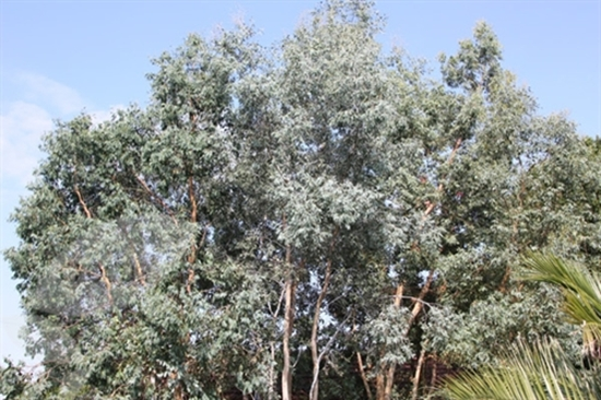 Picture of Eucalyptus gunnii