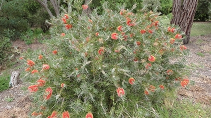 Picture of Callistemon rugulosus