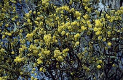 Picture of Acacia ausfeldii