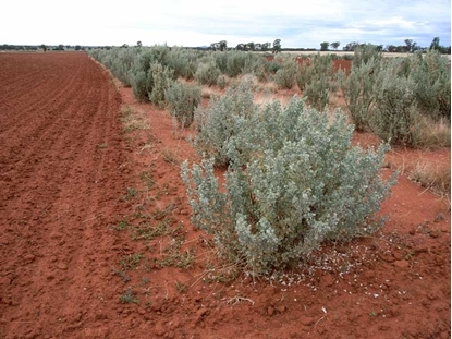 Picture of Atriplex nummularia