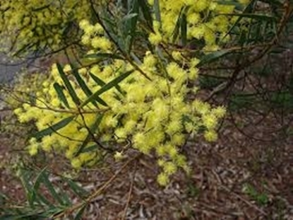 Picture of Acacia prominens