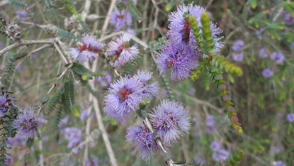 Picture of Melaleuca gibbosa