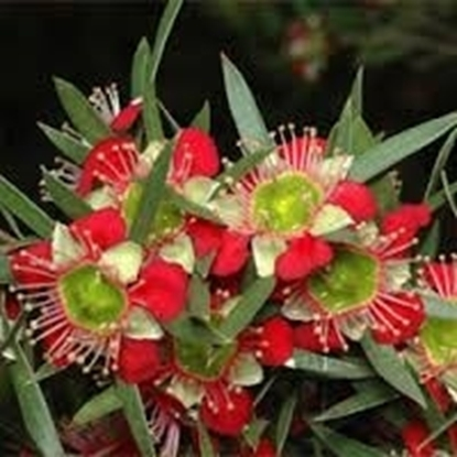 Picture of Leptospermum spectabile