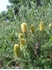 Picture of Banksia marginata