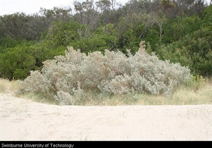 Picture of Atriplex cinerea