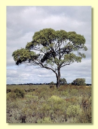 Picture of Eucalyptus aromaphloia