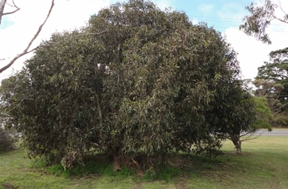 Picture of Eucalyptus leucoxylon 'megalocarpa'
