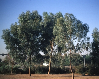 Picture of Eucalyptus largiflorens