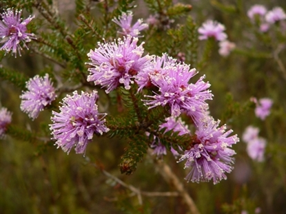 Picture of Melaleuca squamea