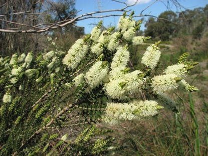 Picture of Melaleuca squarrosa