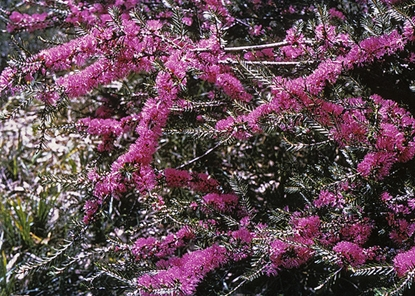 Picture of Melaleuca wilsonii
