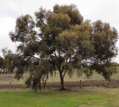 Picture of Eucalyptus spathulata