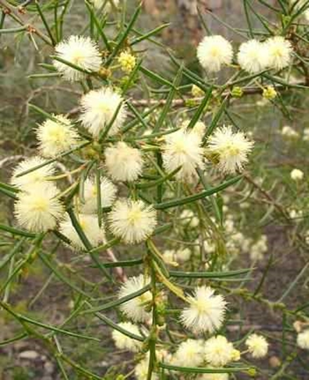 Picture of Acacia genistifolia
