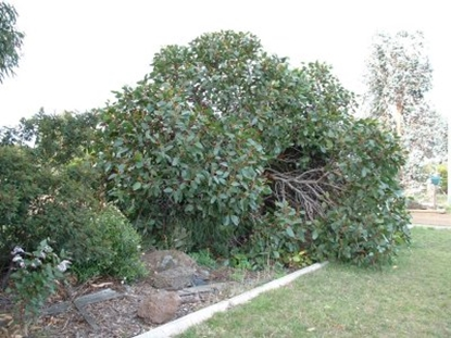 Picture of Eucalyptus alpina