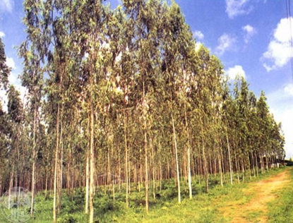 Picture of Eucalyptus camaldulensis