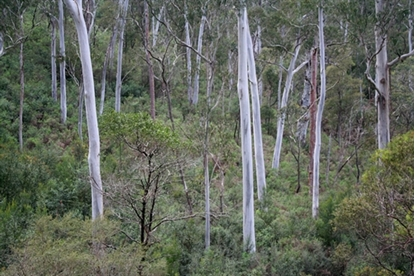 Picture of Eucalyptus cypellocarpa