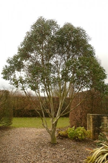Picture of Eucalyptus pauciflora
