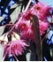 Picture of Eucalyptus sideroxylon rosea