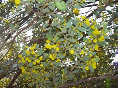 Picture of Acacia brachybotrya