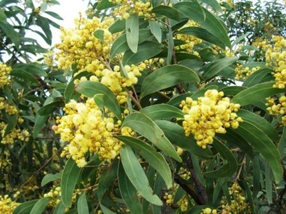 Picture of Acacia falciformis