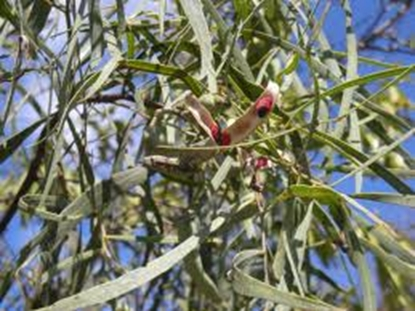 Picture of Acacia salicina