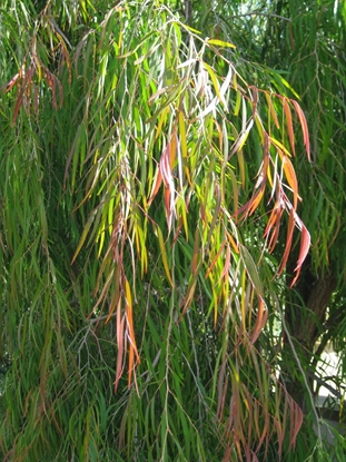 Picture of Agonis flexuosa