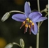 Picture of Dianella revoluta