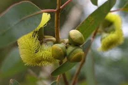 Picture of Eucalyptus preissiana