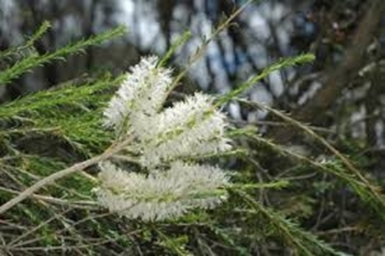 Picture of Melaleuca hamulosa
