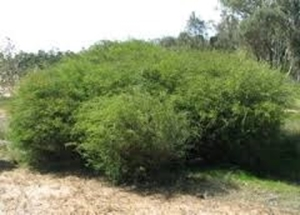 Picture for category Medium Shrubs