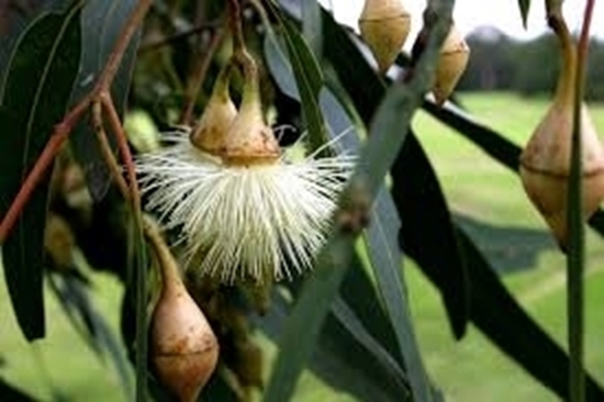 Picture of Eucalyptus longifolia